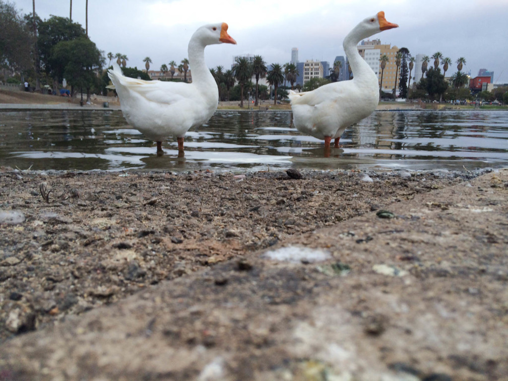 Ant POV: The ducks at the lake of MacArthur Park were the uniting factor for the the people that were there. They were all partaking in feeding the ducks when I arrived and when I left.
