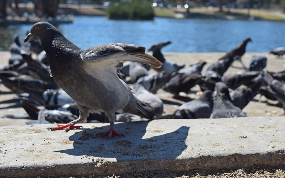 ANT: A flock of pigeons descended upon the MacArthur Park to eat leftover crumbs. Each time they were disturbed, they rose as a cloud into the air, circled a few times, and landed in a nearby waterfront spot.