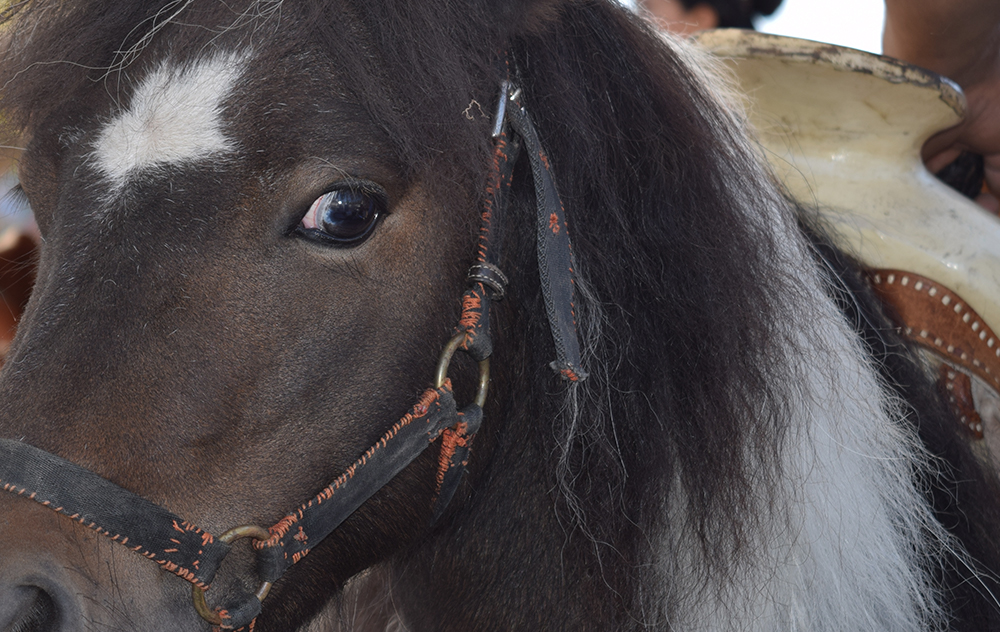 EYE: Pancho, a five-year-old pony, gnawed on his harness as he prepared to give a ride to one of many enthusiastic children.